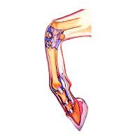 Для суставов, связок, сухожилий